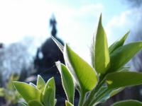 В Великом Новгороде высадили 13 тысяч тюльпанов